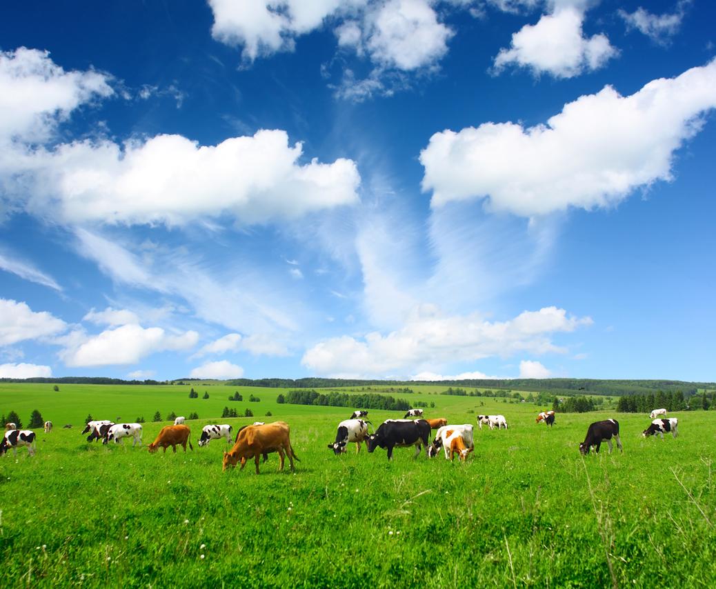 Cows-1038